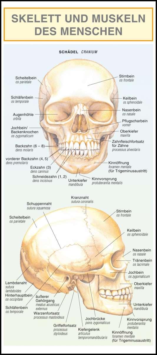 Groß Anatomie Der Kieferknochen Fotos - Anatomie Ideen - finotti.info